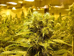 Sacramento, CA. Marijuana Growers Insurance